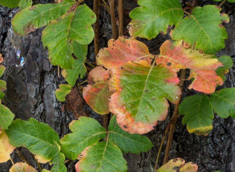 Photo of poison oak on a tree