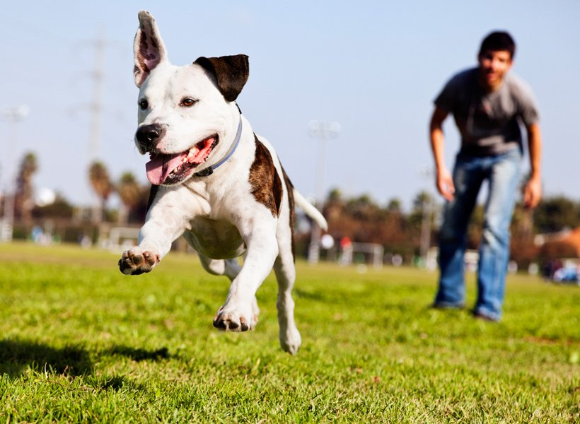 Dog running with owner standing behind him